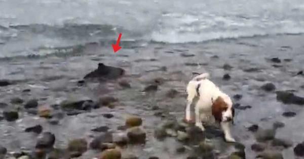 Σκύλος βοηθάει τον ιδιοκτήτη του να σώσει ένα μωρό δελφίνι που παγιδεύτηκε στην στεριά. (Βίντεο)