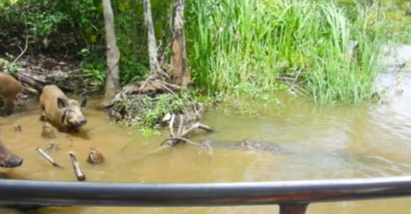 Αλιγάτορας καταβροχθίζει αγριογούρουνο μπροστά στα μάτια των τουριστών. Δείτε το βίντεο…