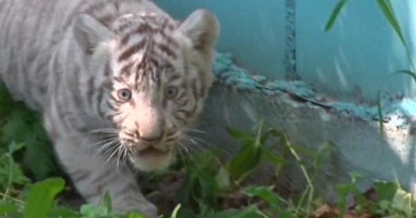 Οι μικρές λευκές τίγρεις της Λιθουανίας (Βίντεο)