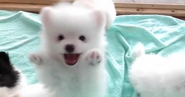 Αυτά τα χαρούμενα Πομεράνιαν κουταβάκια είναι το πιο χαριτωμένο θέαμα που θα δείτε σήμερα! (Βίντεο)