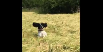 Ένας σκύλος μέσα στα στάχυα (Βίντεο)