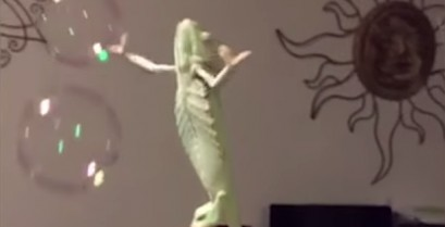 Ο χαμαιλέοντας και οι σαπουνόφουσκες (Βίντεο)