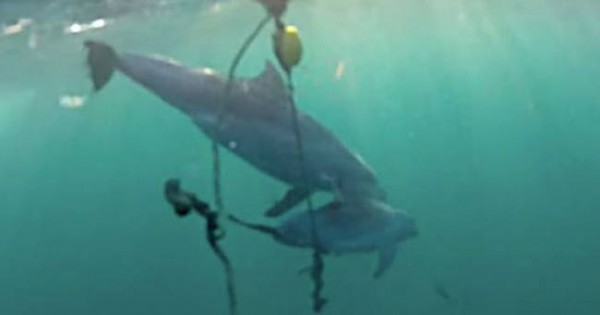 Συγκλονιστικό βίντεο: Δελφίνι προσπαθεί να σώσει το μωράκι του από παγίδα καρχαρία! (Βίντεο)