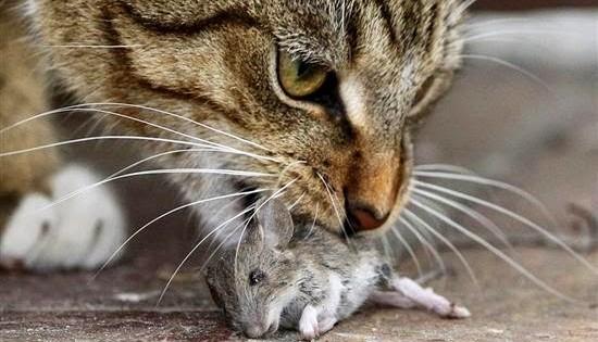 Γιατί οι γάτες κουβαλούν τη νεκρή λεία τους στο σπίτι;