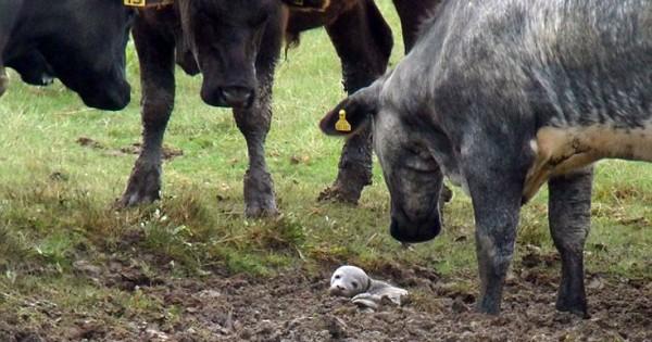 Μικρή φώκια σε… κοπάδι με αγελάδες! (Βίντεο)