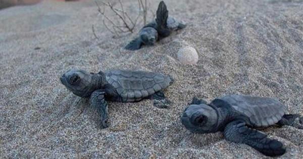 Καλαμάκι, Ηρακλείου: Κρητικόπουλα τα πρώτα χελωνάκια Caretta caretta της φετινής χρονιάς (Εικόνες)