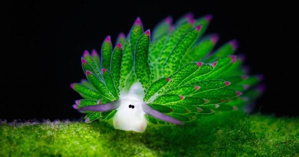 «Προβατάκι» της θάλασσας τρώει τόσο πολλά φύκια που κάνει φωτοσύνθεση! (Εικόνες)