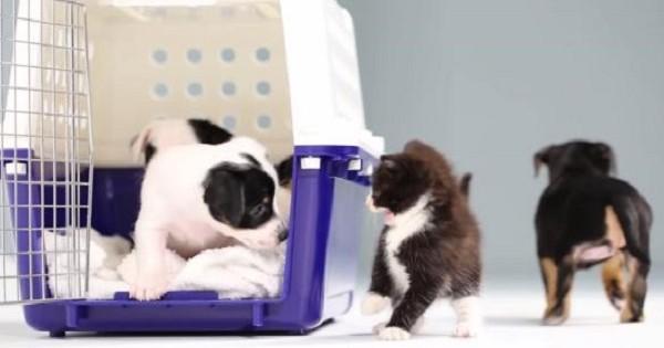 Τι συμβαίνει όταν τα γατάκια έρχονται σε επαφή με τα κουταβάκια, για πρώτη φορά; (Βίντεο)
