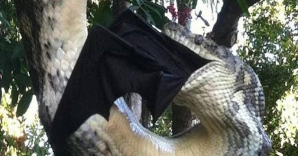 Γιγαντιαίος πύθωνας καταβροχθίζει τεράστια νυχτερίδα (εικόνες & βίντεο)