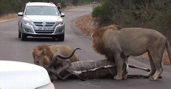 Λιοντάρια σταματούν τη κίνηση για να σκοτώνουν μια αντιλόπη. (Βίντεο)