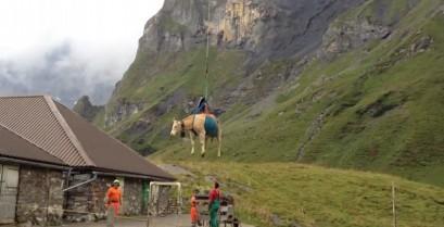Μεταφορά αγελάδας με ελικόπτερο (Βίντεο)
