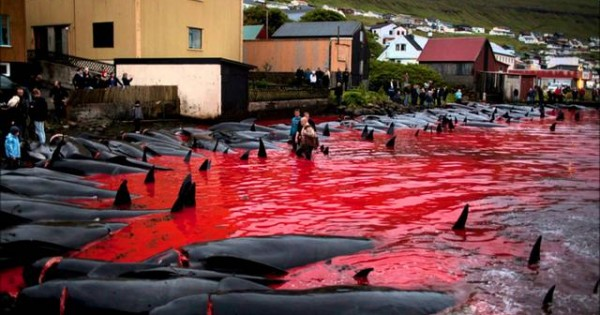 Βίντεο ντροπής: Έσφαξαν 150 φάλαινες γιατί… έτσι είναι το έθιμο [vds+photos]