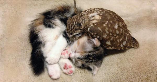 Μια μικρή κουκουβάγια και ένα γατάκι έχουν γίνει οι καλύτεροι φίλοι, τόσο καλοί που κοιμούνται παρέα!