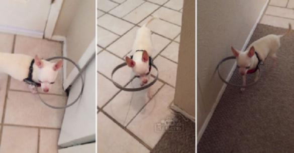 Δημιούργησε μια συσκευή για τυφλά σκυλάκια για να μην χτυπάνε όταν περπατούν. (Βίντεο)