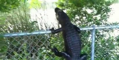 Αλιγάτορας σκαρφαλώνει σε φράχτη (Βίντεο)
