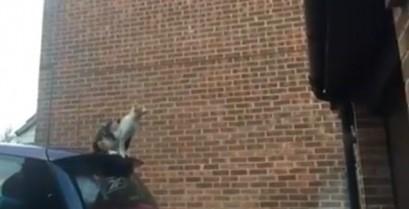 Το φιλόδοξο άλμα της γάτας (Βίντεο)