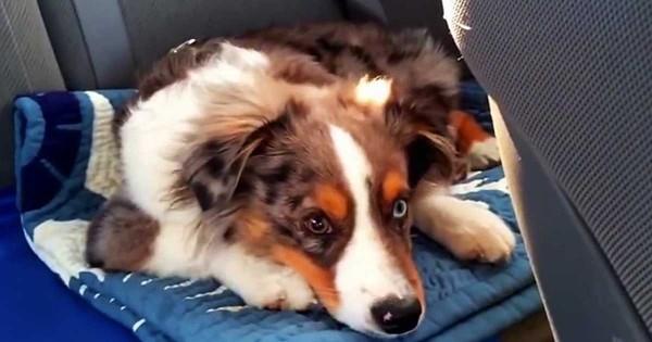 Αυτό το σκυλί κοιμάται όταν ξαφνικά του βάζουν το αγαπημένο του τραγούδι. Η αντίδρασή του; Ξεκαρδιστική! (Βίντεο)