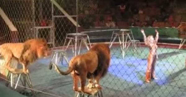 Όλα πήγαιναν καλά μέχρι που το λιοντάρι αριστερά θόλωσε – ΣΟΚΑΡΙΣΜΕΝΟΣ ο κόσμος έτρεχε να σωθεί (βίντεο)