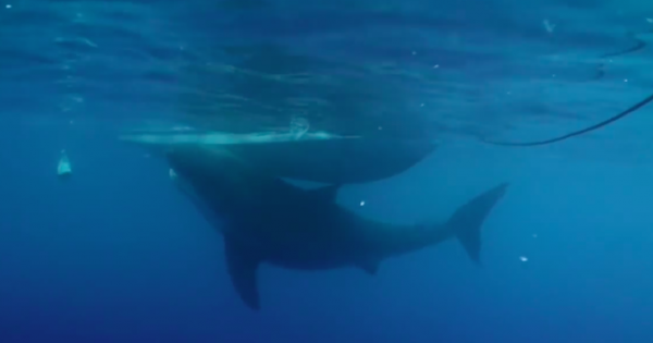 Αυτός είναι ο μεγαλύτερος καρχαρίας που έχει καταγραφεί ποτέ σε κάμερα!
