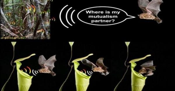 Το σαρκοφάγο φυτό που στήνει παγίδα σε νυχτερίδες