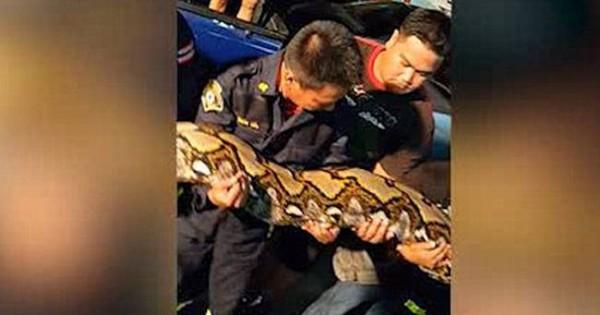 Απόλυτος τρόμος σε εστιατόριο: Βρήκαν γιγάντιο φίδι σε εστιατόριο (Βίντεο)