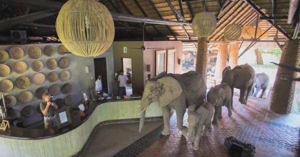 Βίντεο: Αυτοί οι άγριοι ελέφαντες περπατούν αυτή τη διαδρομή μία φορά το χρόνο – Δείτε γιατί!
