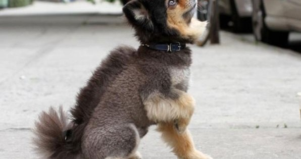 Πολύ γέλιο: Αυτά είναι τα 15 χειρότερα κουρέματα σκύλων!
