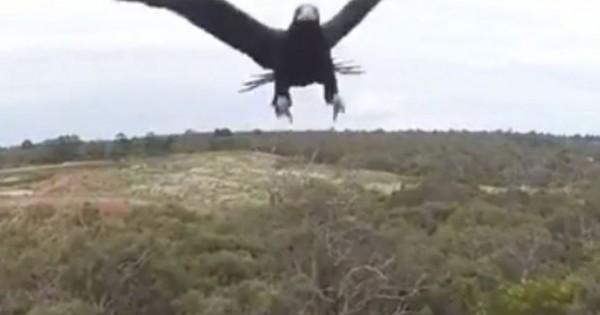 Αετός βγάζει drone νοκ άουτ (Βίντεο)