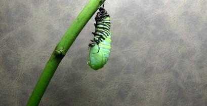 Εντυπωσιακό βίντεο: Η μεταμόρφωση μιας κάμπιας σε πεταλούδα