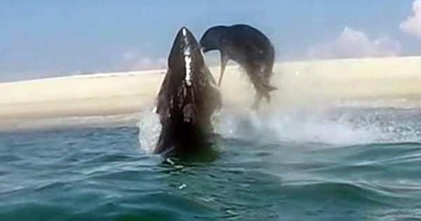 Φώκια δραπετεύει από τα σαγόνια καρχαρία (Εικόνες, Βίντεο)