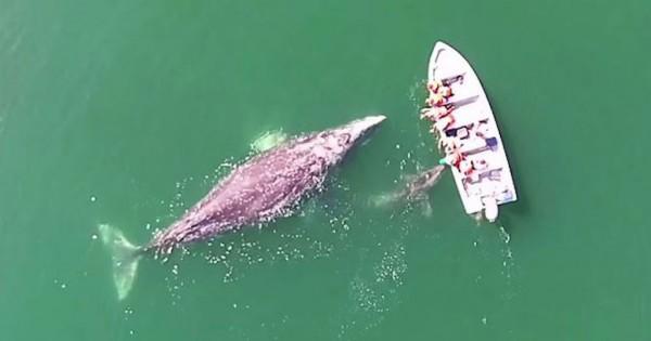 Μία φάλαινα και το μικρό της πρόσφεραν σε τουρίστες μια εμπειρία που δεν θα ξεχάσουν ποτέ! (Βίντεο)