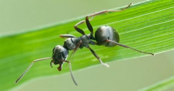 Μυρμήγκια πίνουν οξυζενέ για να απαλλαγούν από μυκητιάσεις!