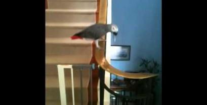 Δείτε τον παπαγάλο που κατεβαίνει τις σκάλες