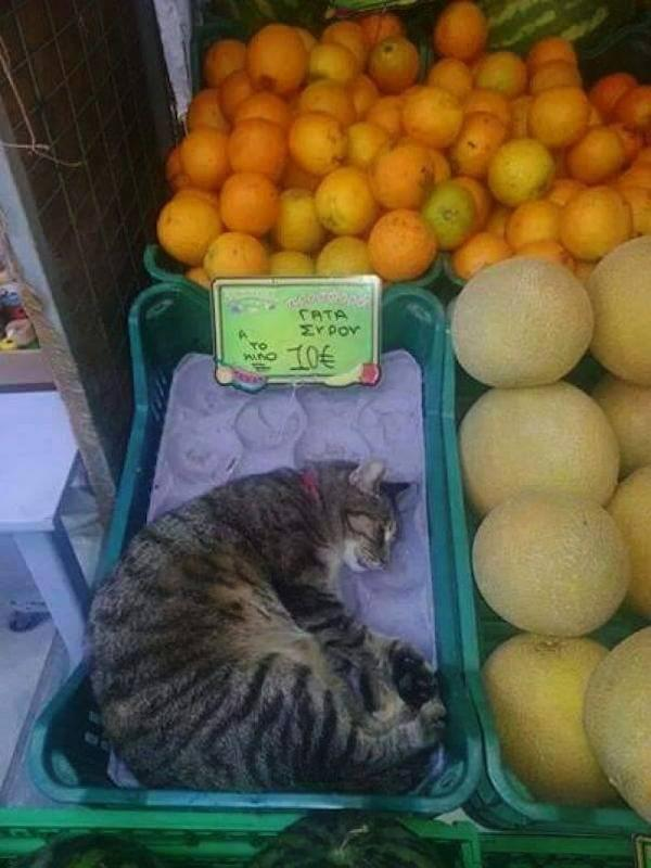 φιλόζωος μανάβης Γάτα