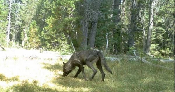 Επιστροφή των λύκων στην Καλιφόρνια μετά από έναν αιώνα (εικόνες)