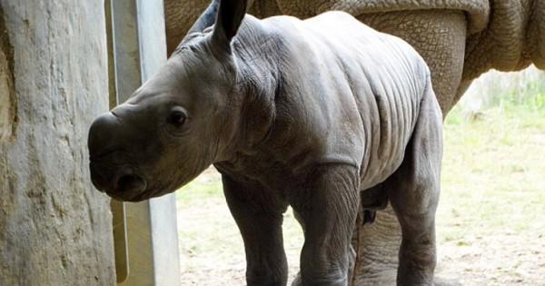Νεογέννητος ρινόκερος σε πάρκο της Βρετανίας