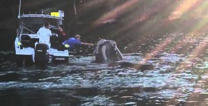Μια φάλαινα ζητά βοήθεια από τους ψαράδες (Βίντεο)