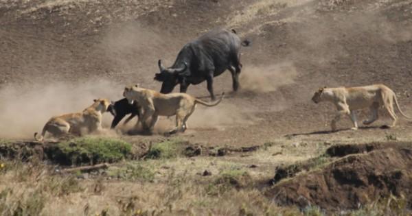 Ηρωικά ζώα που με αυτοθυσία σώζουν άλλα ζώα (Βίντεο)