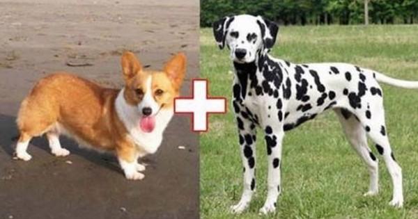 Αυτά είναι τα αποτελέσματα 10 ασυνήθιστων διασταυρώσεων σκύλων! (Εικόνες)