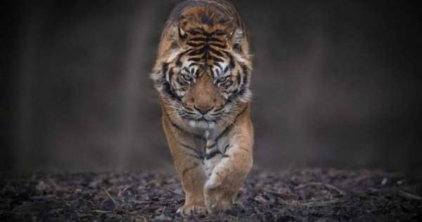 Εντυπωσιακές λήψεις με τίγρεις στο φυσικό τους περιβάλλον (εικόνες)
