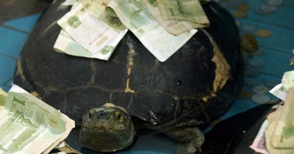 «Χρυσώνουν» τις χελώνες για να ζήσουν πολύ