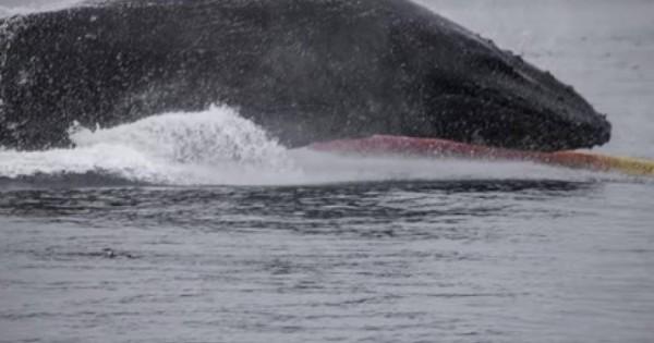 Ανατριχιαστικό βίντεο: Μεγάπτερη φάλαινα πέφτει πάνω σε καγιάκ! (Βίντεο)