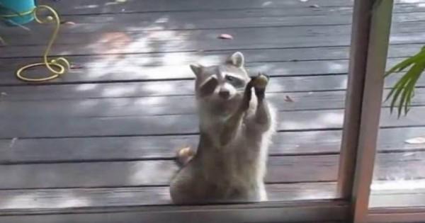 Ρακούν χτυπάει πόρτα και ζητάει φαγητό! (Βίντεο)