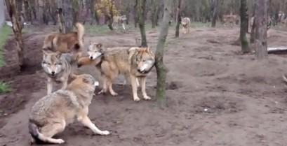 """Μια αγέλη λύκων επιτίθεται στον λύκο """"ωμέγα"""" (Βίντεο)"""