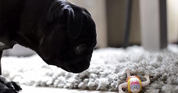 Γλυκύτατο pug βρίσκει ένα περίεργο παιχνίδι στο πάτωμα και η αντίδρασή της είναι απλά ξεκαρδιστική! (Βίντεο)