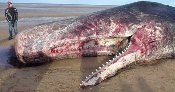Μια γκρι φάλαινα, πεθαίνοντας μας άφησε ένα μήνυμα – «γραμμένο» στο στομάχι της από… πλαστικό. (Βίντεο)