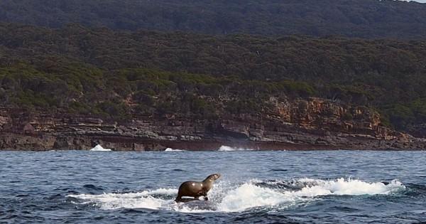 Φώκια… σέρφερ στην πλάτη φάλαινας! (Εικόνες)