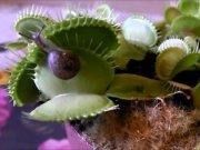 Αυτό το σαλιγκάρι έκανε το λάθος να ολισθήσει πάνω σε ένα πεινασμένο φυτό! (Βίντεο)
