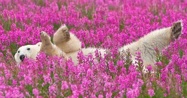 Απαθανατίζει δύο πολικές αρκούδες να παίζουν σε ανθισμένο λιβάδι! (Εικόνες)