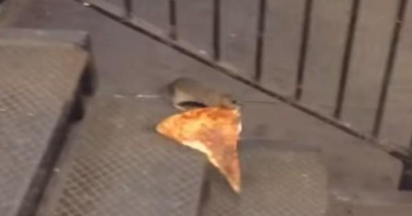 Αρουραίος δίνει μάχη για ένα κομμάτι πίτσα (Βίντεο)